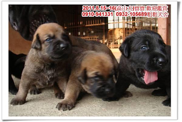 粗粗犬舍2011.8.15~16(高山犬)寶寶~68.jpg