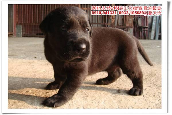 粗粗犬舍2011.8.15~16(高山犬)寶寶~69.jpg