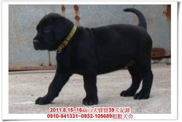 粗粗犬舍2011.8.15~16高山犬寶寶~214.jpg