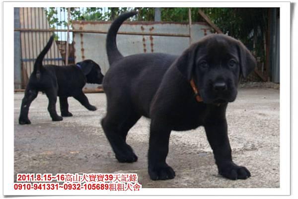 粗粗犬舍2011.8.15~16高山犬寶寶~220.jpg