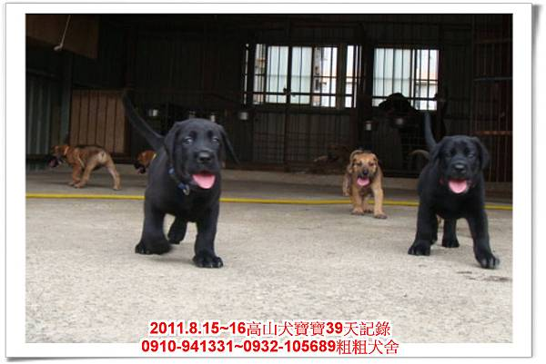 粗粗犬舍2011.8.15~16高山犬寶寶~266.jpg