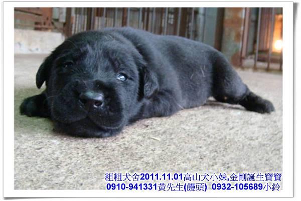 2011.11.1高山犬黑色種母(小妹)第一胎~14.jpg