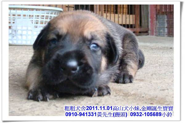 2011.11.1高山犬黑色種母(小妹)第一胎~17.jpg