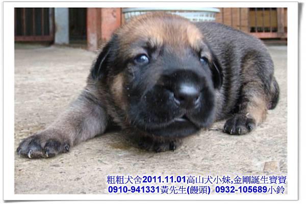 2011.11.1高山犬黑色種母(小妹)第一胎~19.jpg