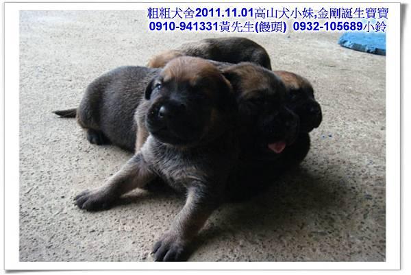 2011.11.1高山犬黑色種母(小妹)第一胎~21.jpg
