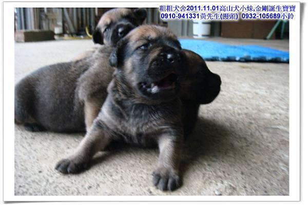 2011.11.1高山犬黑色種母(小妹)第一胎~23.jpg