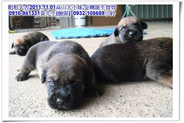 2011.11.1高山犬黑色種母(小妹)第一胎~25.jpg