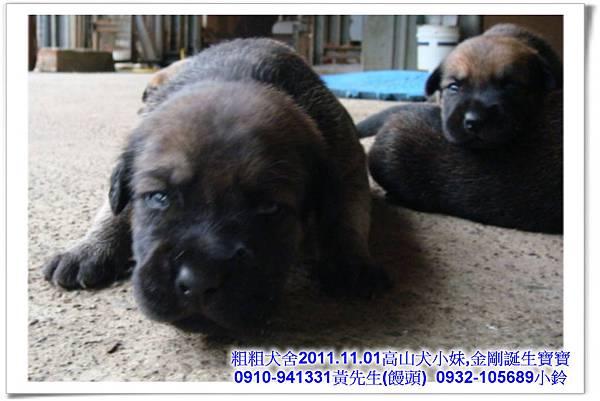 2011.11.1高山犬黑色種母(小妹)第一胎~26.jpg
