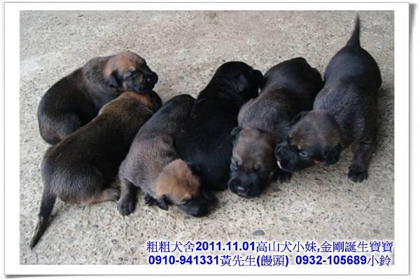 2011.11.1高山犬黑色種母(小妹)第一胎~32.jpg