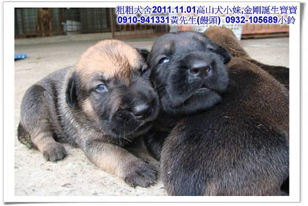 2011.11.1高山犬黑色種母(小妹)第一胎~38.jpg