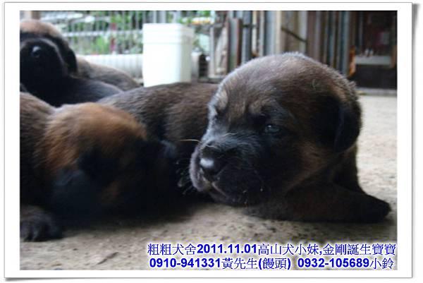2011.11.1高山犬黑色種母(小妹)第一胎~39.jpg