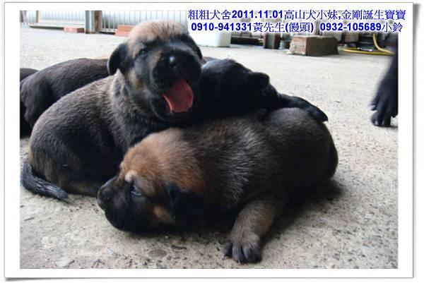 2011.11.1高山犬黑色種母(小妹)第一胎~41.jpg
