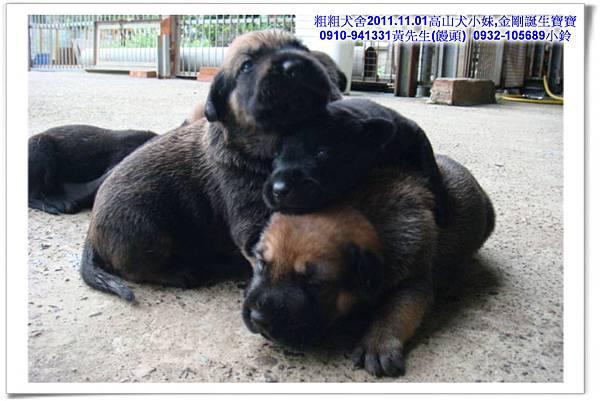 2011.11.1高山犬黑色種母(小妹)第一胎~42.jpg