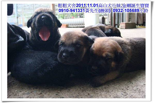 2011.11.1高山犬黑色種母(小妹)第一胎~43.jpg