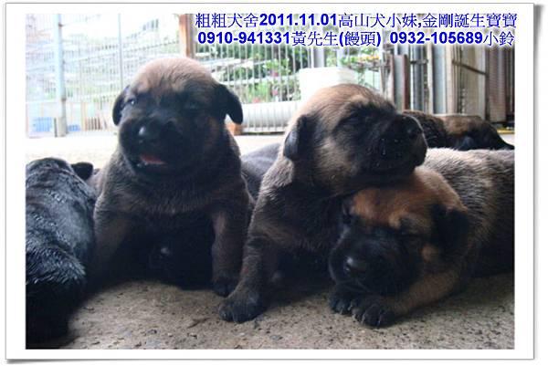 2011.11.1高山犬黑色種母(小妹)第一胎~44.jpg