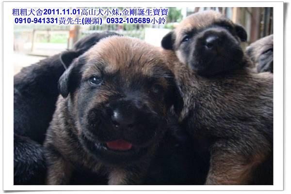 2011.11.1高山犬黑色種母(小妹)第一胎~46.jpg