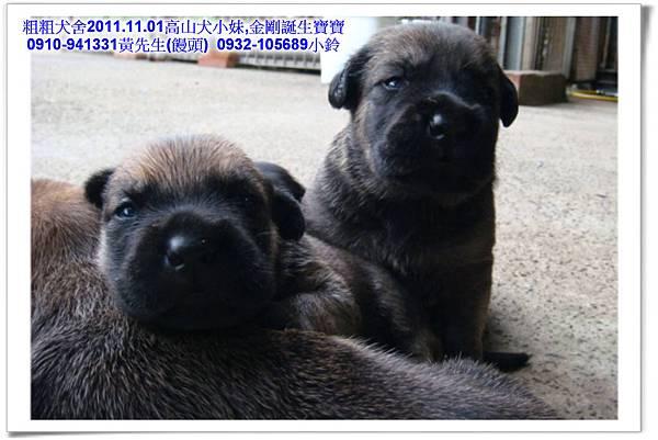 2011.11.1高山犬黑色種母(小妹)第一胎~47.jpg