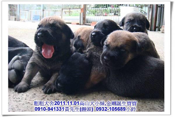 2011.11.1高山犬黑色種母(小妹)第一胎~48.jpg