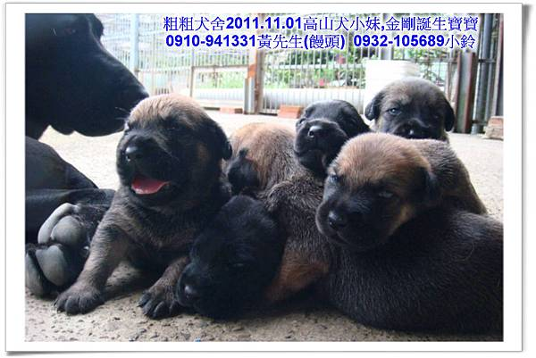2011.11.1高山犬黑色種母(小妹)第一胎~49.jpg