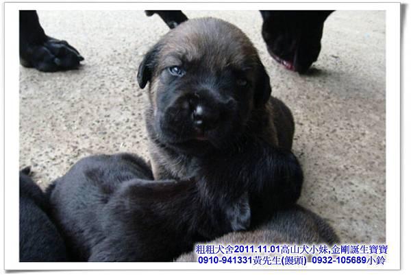 2011.11.1高山犬黑色種母(小妹)第一胎~50.jpg