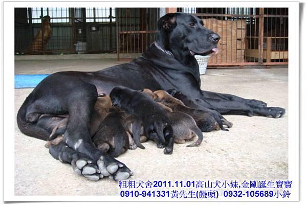 2011.11.1高山犬黑色種母(小妹)第一胎~52.jpg