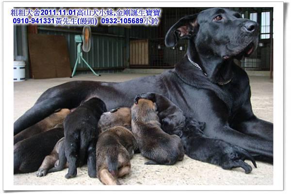 2011.11.1高山犬黑色種母(小妹)第一胎~53.jpg