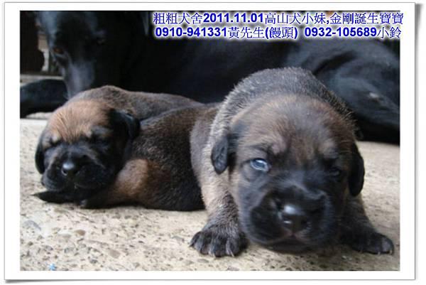 2011.11.1高山犬黑色種母(小妹)第一胎~58.jpg