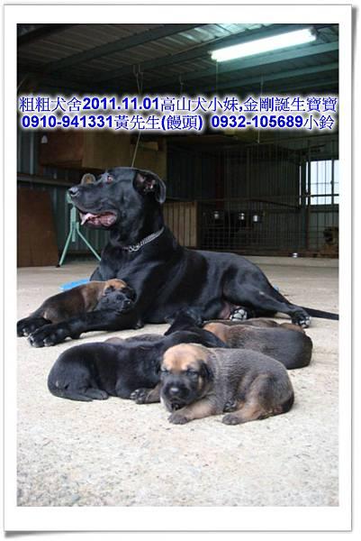 2011.11.1高山犬黑色種母(小妹)第一胎~61.jpg