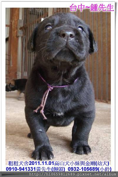 2011.11.1高山犬黑色種母(小妹)第一胎~66.jpg