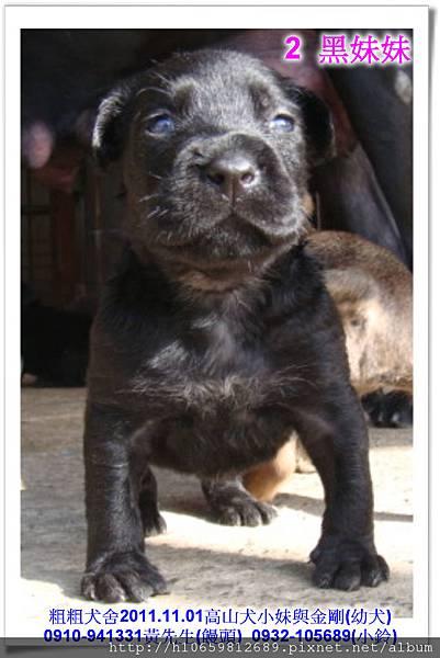 2011.11.1高山犬黑色種母(小妹)第一胎~68.jpg