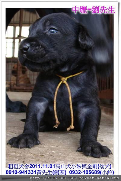 2011.11.1高山犬黑色種母(小妹)第一胎~70.jpg