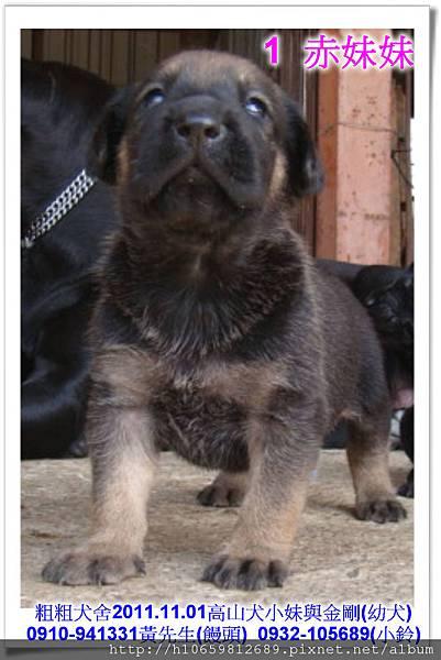2011.11.1高山犬黑色種母(小妹)第一胎~71.jpg