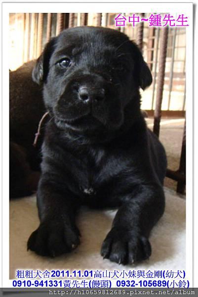 2011.11.1高山犬黑色種母(小妹)第一胎~74.jpg