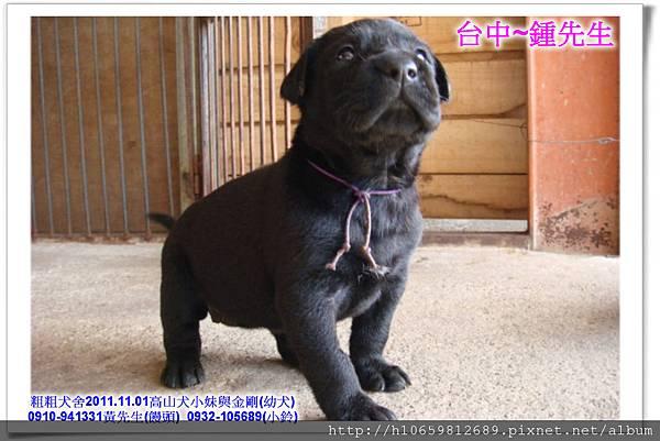 2011.11.1高山犬黑色種母(小妹)第一胎~75.jpg