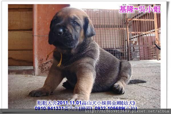 2011.11.1高山犬黑色種母(小妹)第一胎~77.jpg