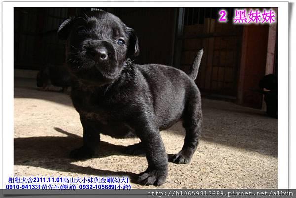 2011.11.1高山犬黑色種母(小妹)第一胎~78.jpg