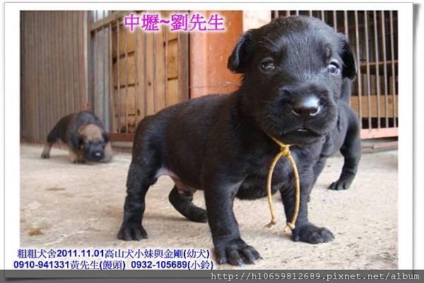 2011.11.1高山犬黑色種母(小妹)第一胎~79.jpg