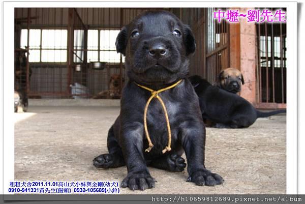 2011.11.1高山犬黑色種母(小妹)第一胎~80.jpg