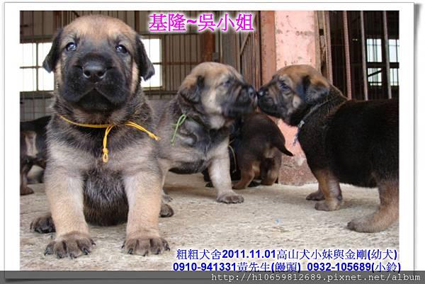 2011.11.1高山犬黑色種母(小妹)第一胎~81.jpg