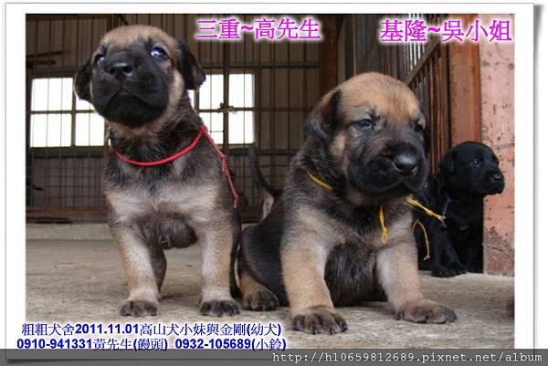 2011.11.1高山犬黑色種母(小妹)第一胎~82.jpg