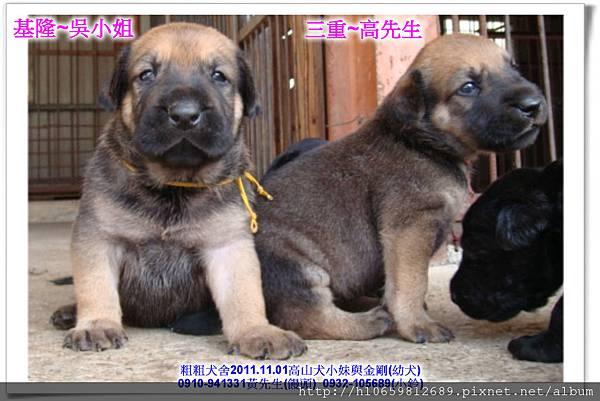 2011.11.1高山犬黑色種母(小妹)第一胎~83.jpg