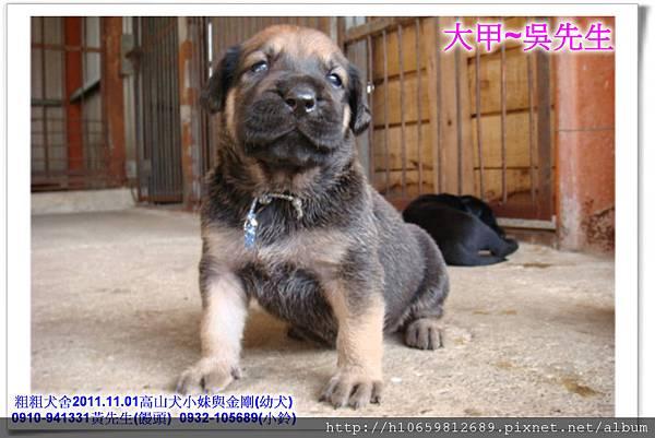 2011.11.1高山犬黑色種母(小妹)第一胎~85.jpg