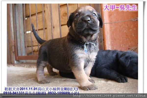 2011.11.1高山犬黑色種母(小妹)第一胎~86.jpg