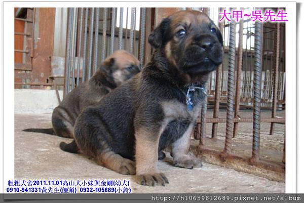 2011.11.1高山犬黑色種母(小妹)第一胎~87.jpg