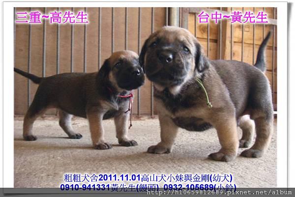 2011.11.1高山犬黑色種母(小妹)第一胎~88.jpg