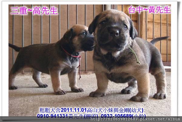 2011.11.1高山犬黑色種母(小妹)第一胎~89.jpg