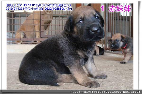 2011.11.1高山犬黑色種母(小妹)第一胎~90.jpg