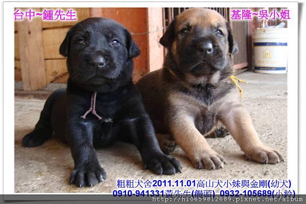 2011.11.1高山犬黑色種母(小妹)第一胎~91.jpg