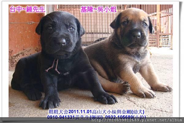 2011.11.1高山犬黑色種母(小妹)第一胎~92.jpg