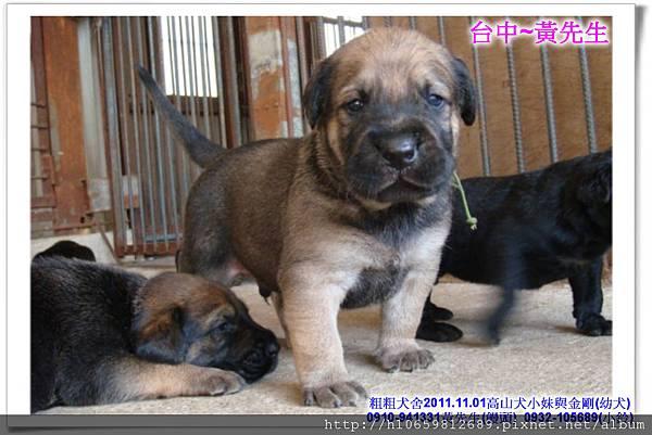 2011.11.1高山犬黑色種母(小妹)第一胎~94.jpg